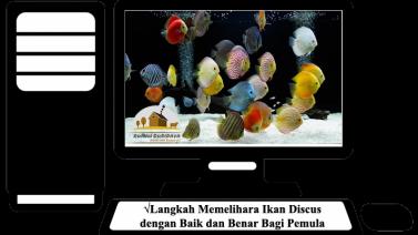 Langkah Memelihara Ikan Discus dengan Baik dan Benar Bagi Pemula