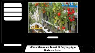 Cara Menanam Tomat di Polybag Agar Berbuah Lebat