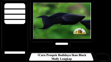 Cara Prospek Budidaya Ikan Black Molly Lengkap