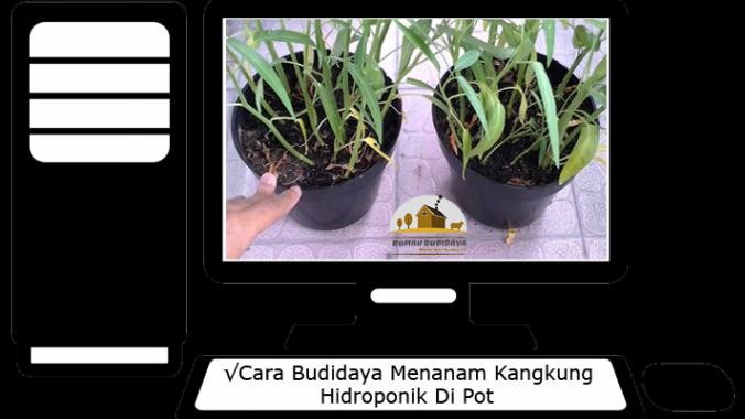 Cara Budidaya Menanam Kangkung Hidroponik Di Pot