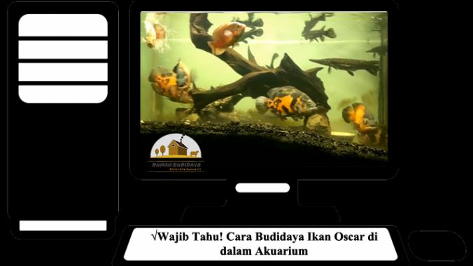 Wajib Tahu! Cara Budidaya Ikan Oscar di dalam Akuarium