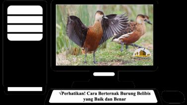 Cara Berternak Burung Belibis yang Baik dan Benar