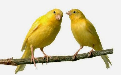 Cara Penjodohan Burung Kenari