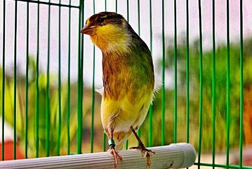 Menjaga Kesehatan Burung Kenari