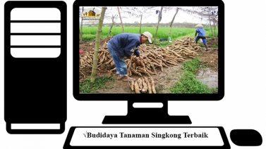 Budidaya Tanaman Singkong