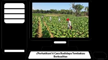 Budidaya Tembakau