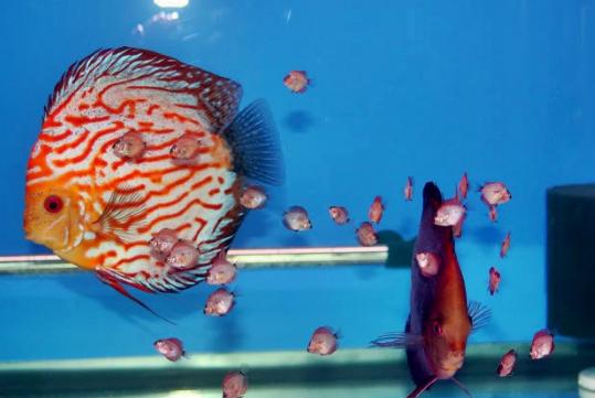 Ciri-Ciri Ikan Discus Siap Pijah