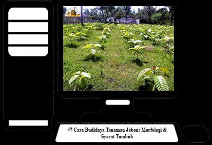 Cara-Budidaya-Tanaman-Jabon