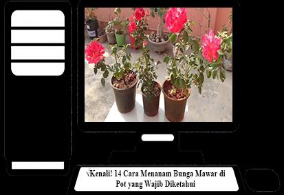 Cara-Menanam-Bunga-Mawar-di-Pot
