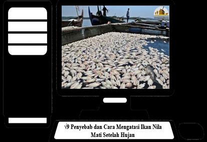 Cara-Mengatasi-Ikan-Nila Mati-Setelah-Hujan