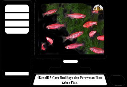 Cara-Perawatan-Ikan-Zebra-Pink