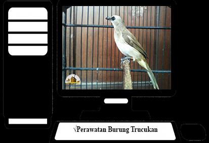 Perawatan-Burung-Trucukan