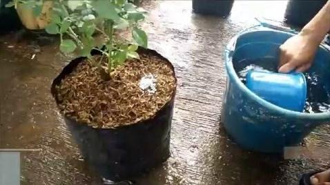 Pupuk-bunga-mawar