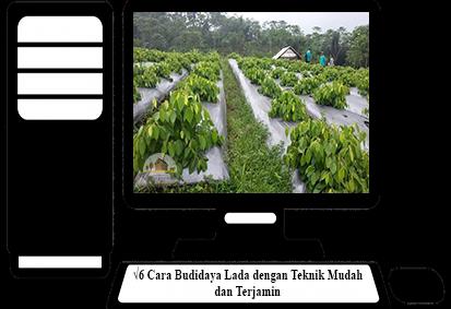Cara-Budidaya-Lada