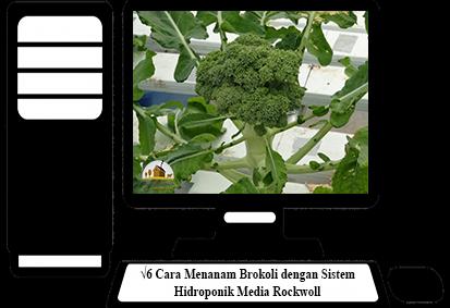 Cara-Menanam-Brokoli
