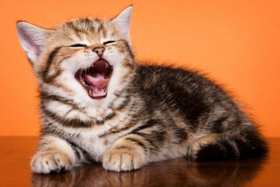 Anak-Kucing-Mengeong-Terus-Menerus