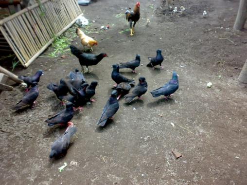 Cara-Budidaya-Burung-Dara-Balap