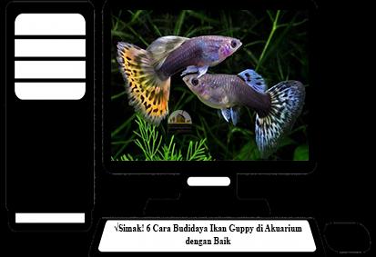 Cara-Budidaya-Ikan-Guppy-di-Akuarium