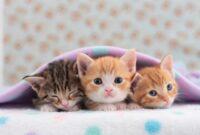Cara-Memelihara-Anak-Kucing-Dengan-Baik
