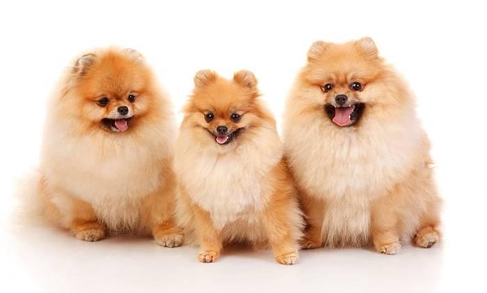 Cara-Memilih-Anjing-Untuk-Dipelihara