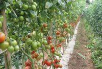 Cara-Menanam-Tomat-Lumina-F1