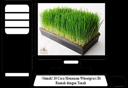 Cara-Menanam-Wheatgrass-dengan-Tanah
