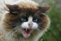 Cara-Mengatasi-Kucing-Agresif