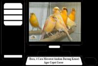 Cara-Merawat-Anakan-Burung-Kenari