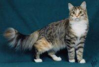 Cara-Merawat-Kucing-Campuran