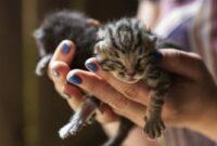 Cara-Merawat-Kucing-Umur-1-Bulan-Tanpa-Induk