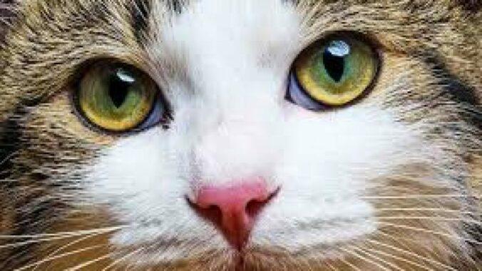 Cara-mengobati-Mata-Kucing-Dengan-Daun-Sirih