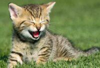 Efek-Minyak-Kayu-Putih-Pada-Kucing