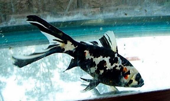 Ikan Komet Black and White