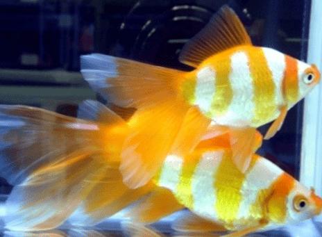 Ikan Komet Harimau