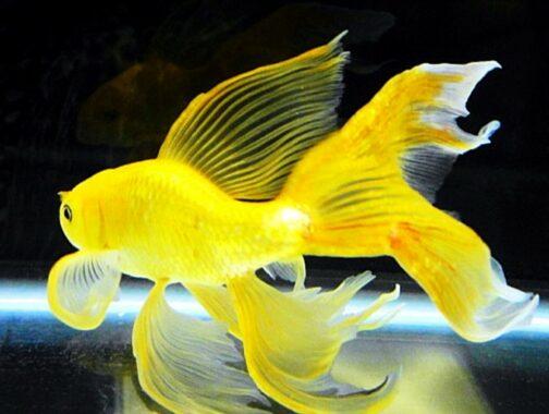 Ikan Komet Kuning