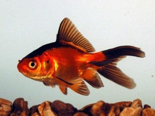 Ikan Komet Merah Hitam
