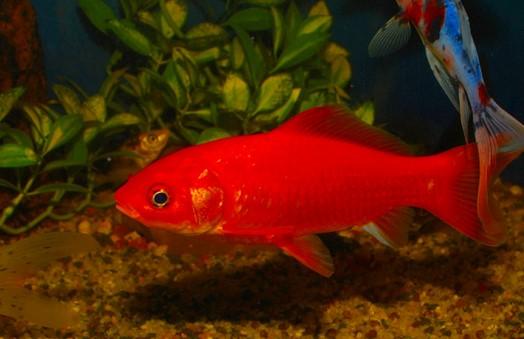 Ikan Komet Merah