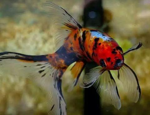 Ikan Komet Pancawarna