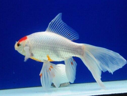 Ikan Komet Sara