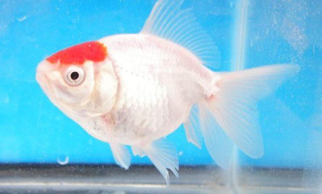 Ikan Komet Tancho