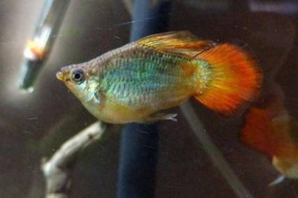 Ikan Molly Hybrid