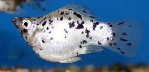 Ikan Molly Marble