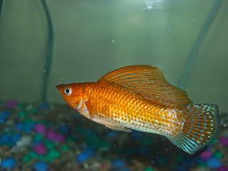 Ikan Molly Yucatan