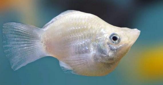 Ikan Silver Molly
