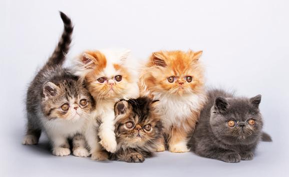 Jenis-Kucing-Persia