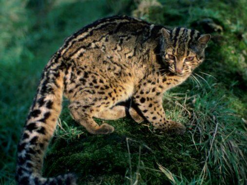 Ini Dia 8 Jenis Kucing Hutan Yang Populer Untuk Dipelihara