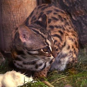 Kucing Kuwuk