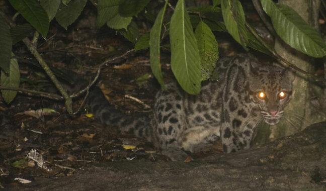 Macan Dahan Kalimantan