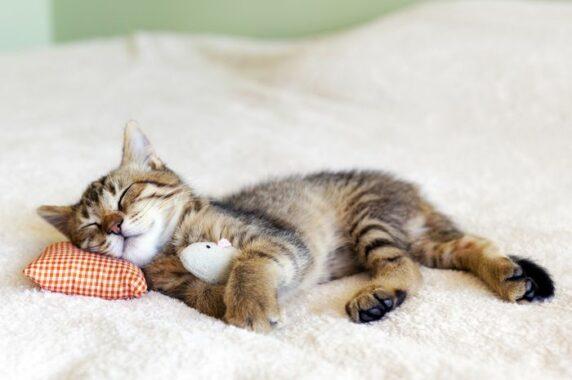 Penyebab-Kucing-Mendengkur