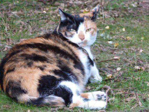Perubahan Fisik Pada Kucing Hamil
